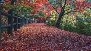 雨の紅葉がきれい 「神戸市立森林植物園」へ 神戸紅葉情報2015その② 期間限定ライトアップも実施
