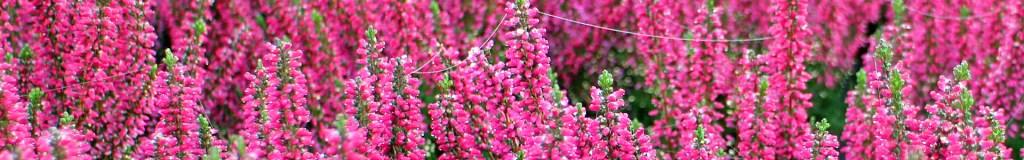 Zierpflanzen - Moorbeetpflanzen