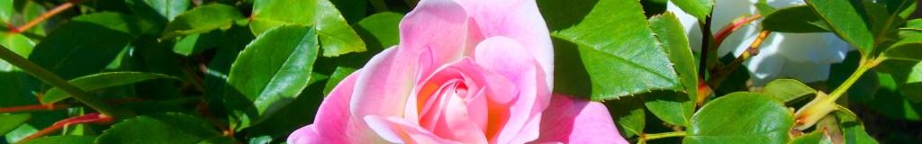 Zierpflanzen - Rosen, Blütenstauden