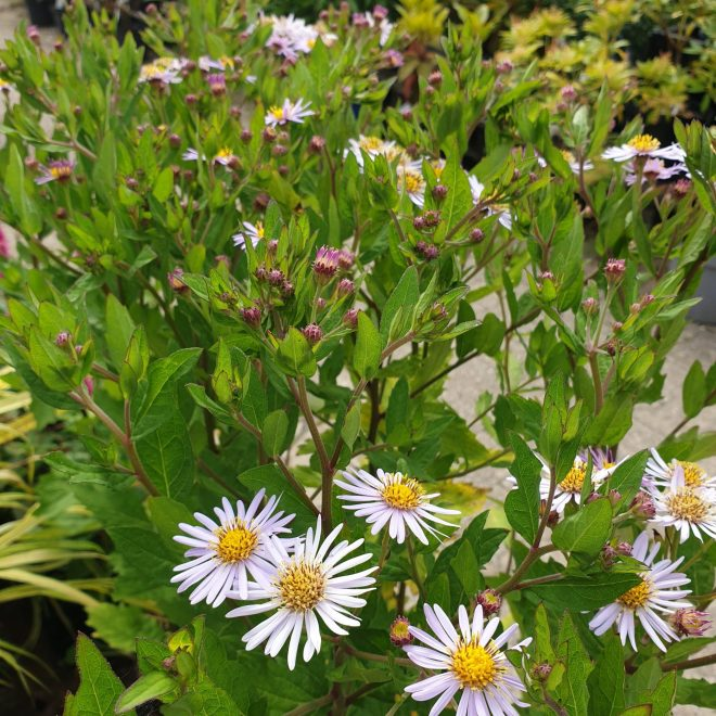 japansk-asters-aster-ageratoides-asran