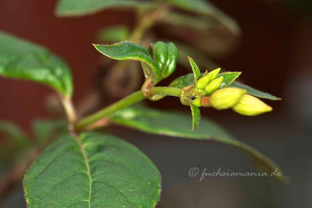 Knospen Fuchsia Zets Alpha