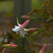 Blühende Fuchsien im Frühjahr