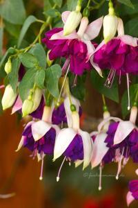 Fuchsia HeRi Mochara