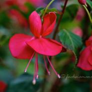 Fuchsia Martin's Umbrella – Fuchsia of the Week 36/2014
