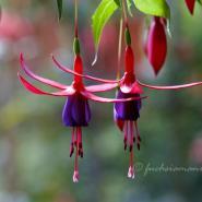 Fuchsia Wilma Versloot – Fuchsia of the Week 38/2014 –