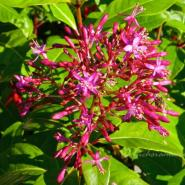 Fuchsia Lechlade Gorgon – Fuchsia of the Week 43/2014