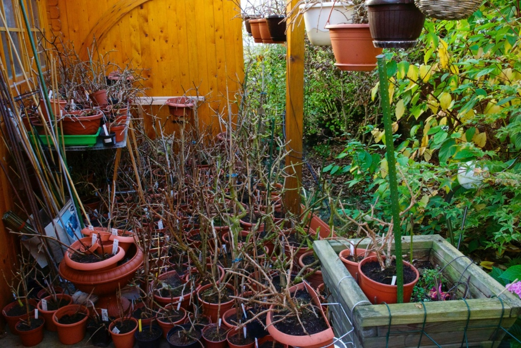 Fuchsien nach dem Herbst-Schnitt