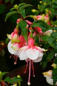 Fuchsia Waldis Ria