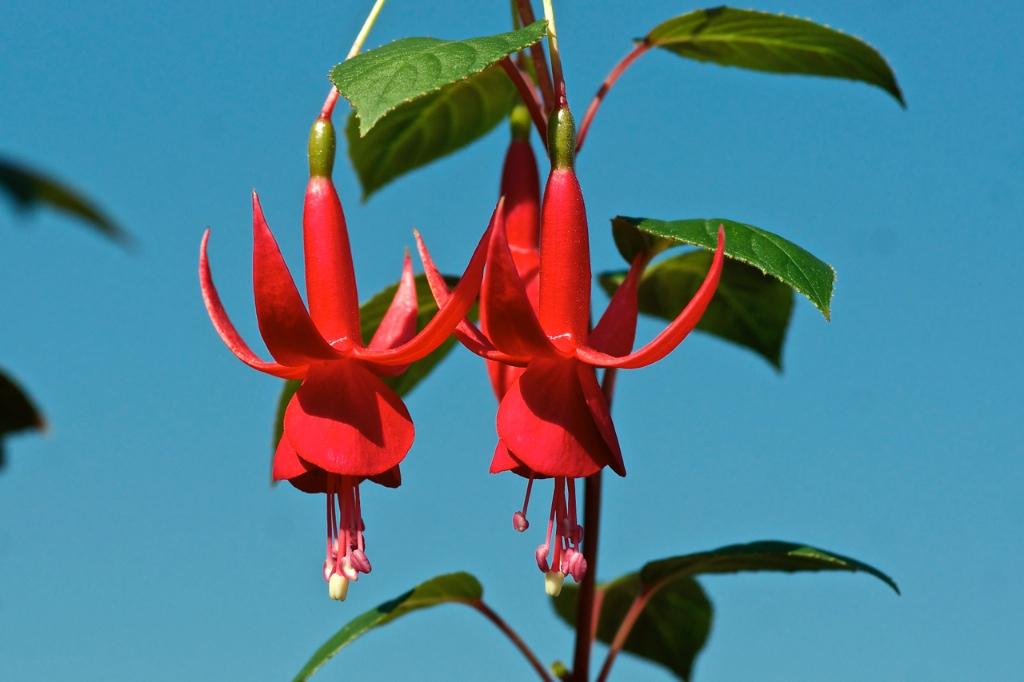 Fuchsia 'Kwintet'