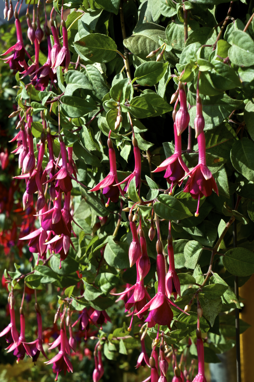 Fuchsia 'Remembering Claire'