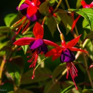 'Lady Boothby' ist anders als andere Fuchsien!