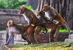 monkey 4some