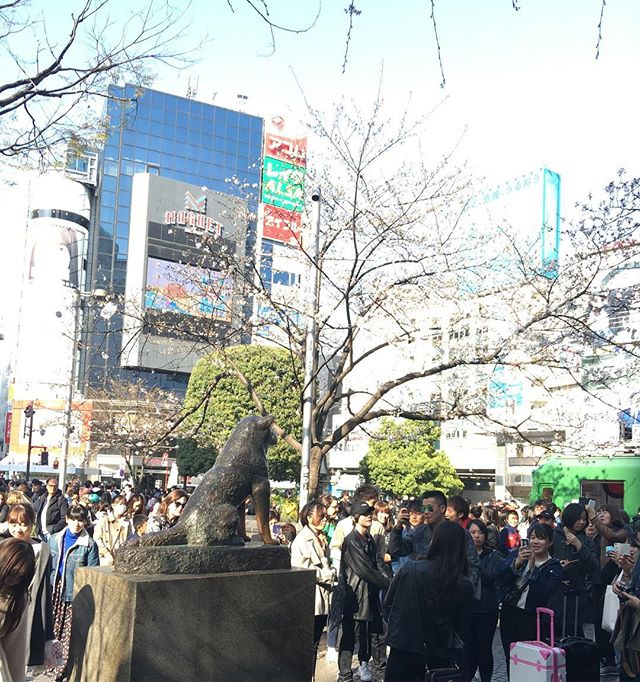 #Sakura and #Hachi : not yet in full bloom but good crowd on a sunny spring day