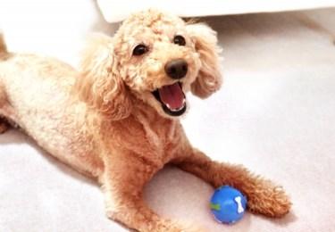 マンションでも犬と暮らしたい!飼いやすい犬種と注意点