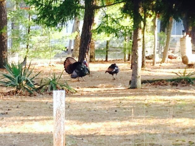 wildturkeys