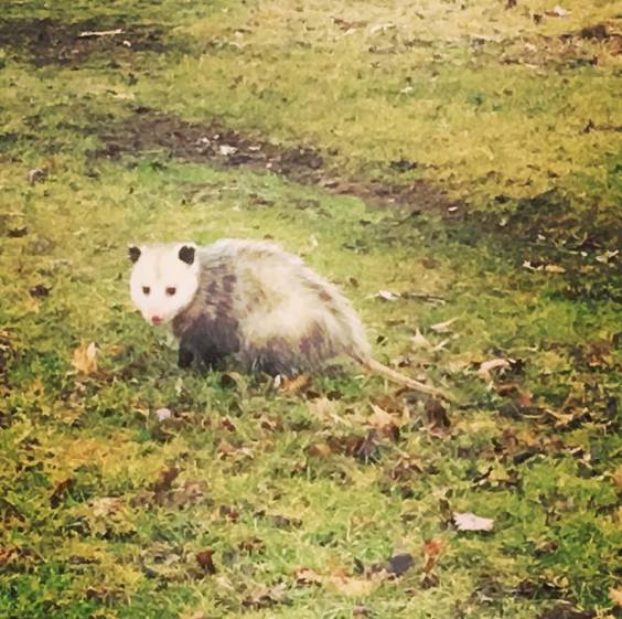 possum running
