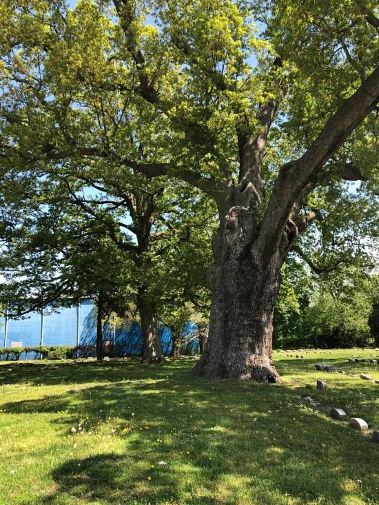 salem oak tree salem nj