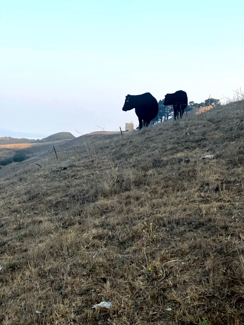 Cows at wildcat canyon