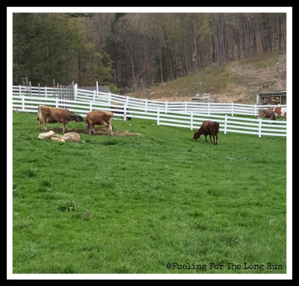 Redding Road Race - Cows
