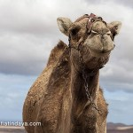 El Camello Majorero