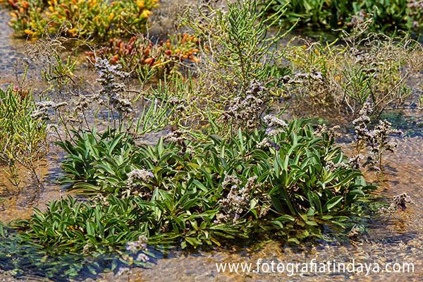 Siempreviva de Lobos (Limonium ovalifolium spp canariense)
