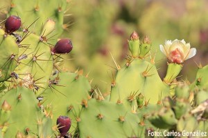 Tuno indio (Opuntia dillenii)