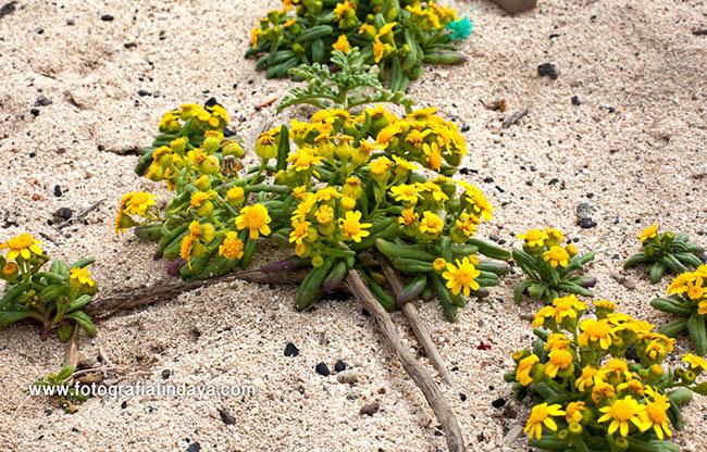 El moqueguirre hediondo (Senecio leucanthemifolius) en las dunas de Corralejo