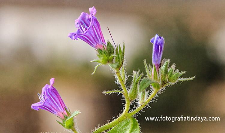 Lengua de vaca azul o viborina canaria (echium bonetti)