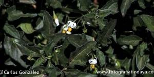 Moralillo - Solanum nigrum
