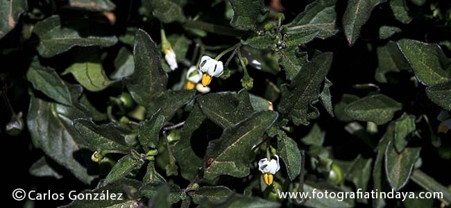 Moralillo -Tomatito del diablo - Solanum nigrum