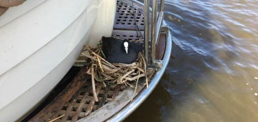 Meerkoet op boot