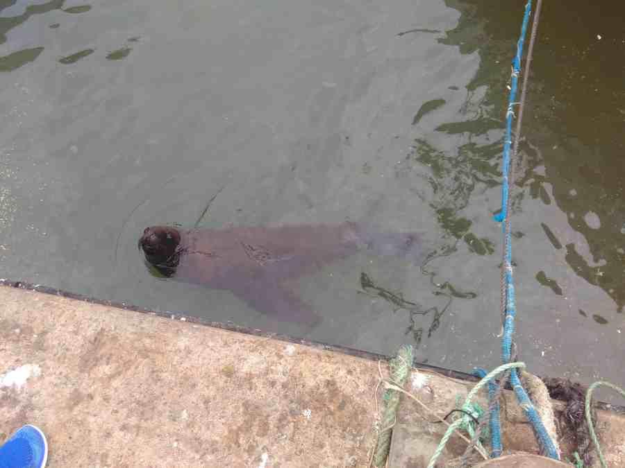 Leão marinho no porto de Punta del Este