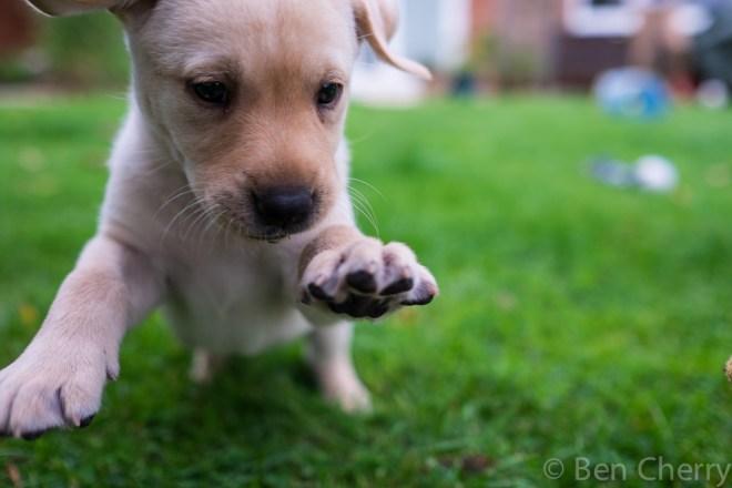 Labrador puppies-17
