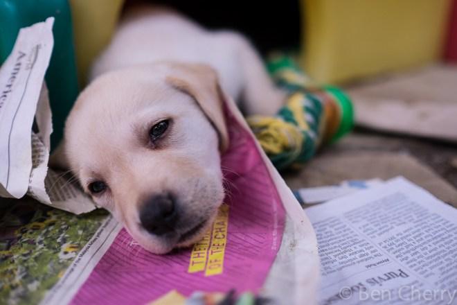 Labrador puppies-26