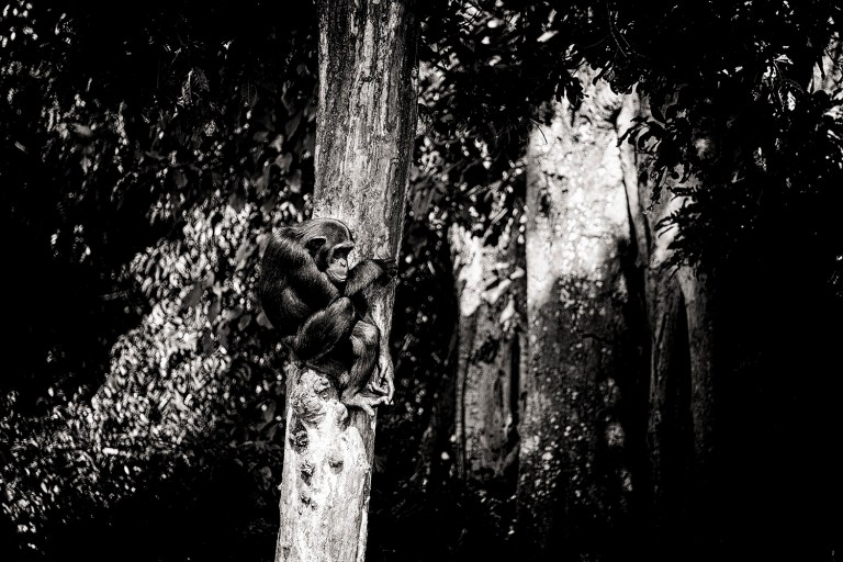 chimpanzee-wild-rainforest-14