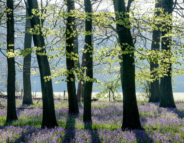 Chris Upton Bluebells