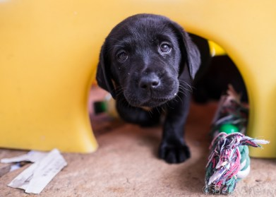 Labrador puppies-10