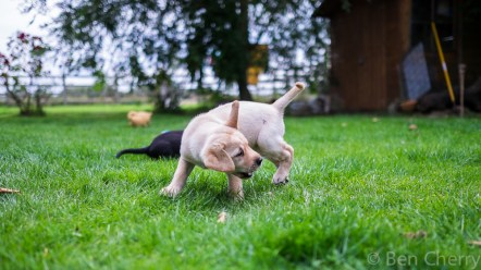 Labrador puppies-13