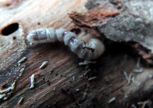 榾木のカミキリムシ被害