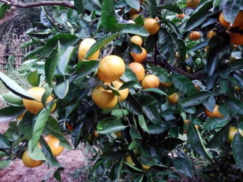温州ミカンの収穫