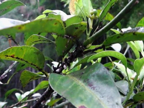 Icerya purchasiとCapnodium sp.