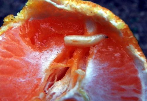 柑橘類害虫のBactrocera tsuneonis 幼虫