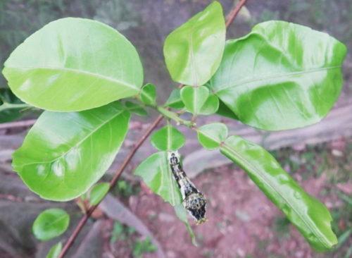 アゲハ幼虫によるカンキツ類の若葉の被害