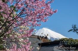 浅間大社桜と富士山平成30年3月25日