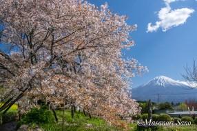 狩宿の下馬桜と富士山30年4月8日