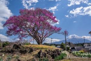 天然記念物と富士