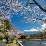 桜巡り 平成31年4月3日