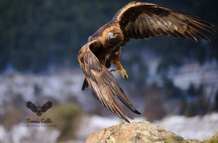"""""""Águila real"""" por Tomás Calle. Fujifilm X-H1 + XF 50-140mm F2.8 R LM OIS WR."""