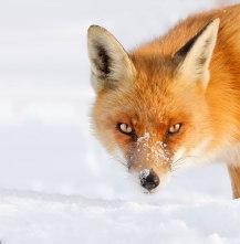 fox_snow_portrait-1__880 Roeselien Raimond