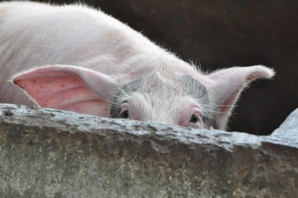 のぞき見豚